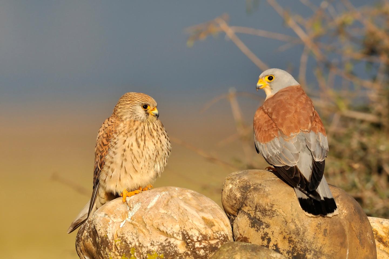 Couple de Faucons crécerellettes, en plaine de Crau